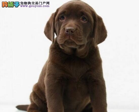 转让纯种血统的汕头拉布拉多犬 颜色齐全签协议