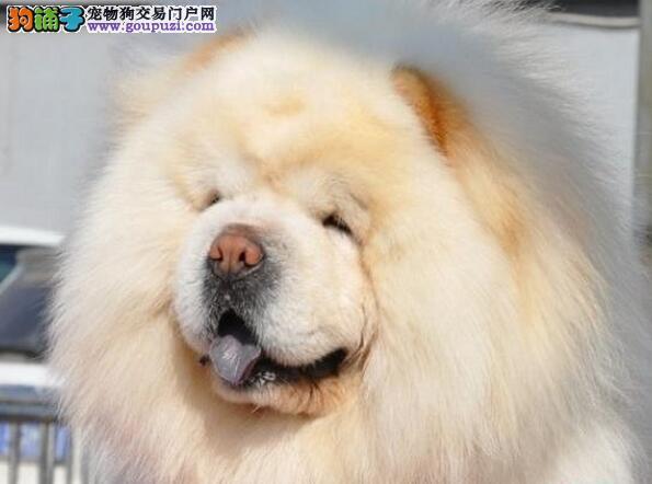 顶级优秀的纯种松狮天津热卖中请您放心选购