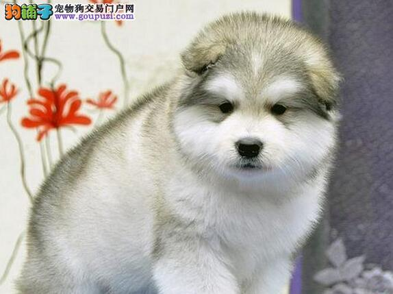 自家狗场繁育纯种阿拉斯加雪橇犬 哈尔滨周边可免邮费