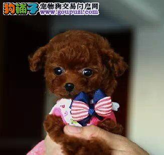 养殖场直销精品泰迪犬广州市区可上门看狗