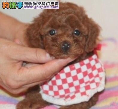 专业犬舍出售韩系贵宾犬广州地区购犬有礼品