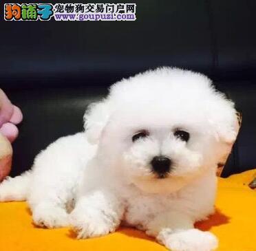 繁育基地热销品相好的广州比熊犬质保出售