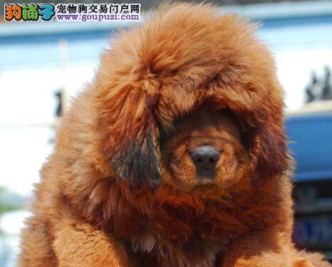 广州藏獒犬 大狮头藏獒犬哪里有卖 藏獒犬嘉琪犬舍