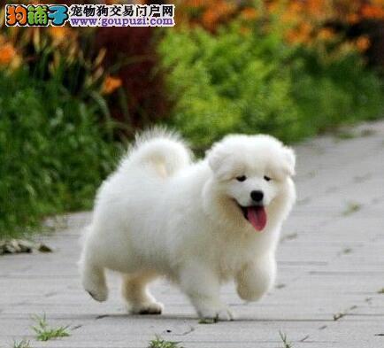 狗场促销血统纯正萨摩耶广州地区购犬可优惠