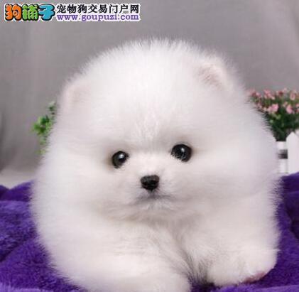 实体店出售极品广州博美犬球形体超可爱
