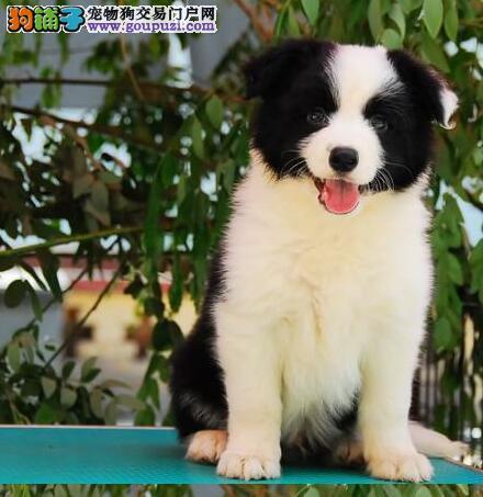 专业繁育销售高品质深圳边境牧羊犬 价格绝对最公道