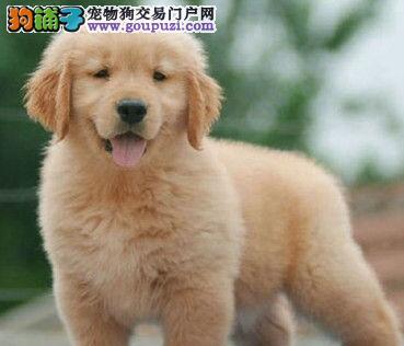 家养顶级健康广州金毛犬转让可见狗狗父母