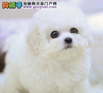 重庆专业的比熊犬舍终身保健康国外引进假一赔百