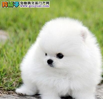 杭州知名犬舍热销雪白的博美犬 公母均有 欲购从速
