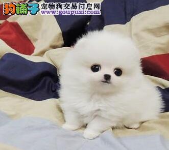 正规犬舍出售哈多利版博美犬 西安地区可送狗终身质保