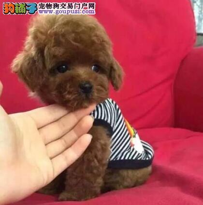 100%纯种健康的泰迪犬出售微信咨询看狗
