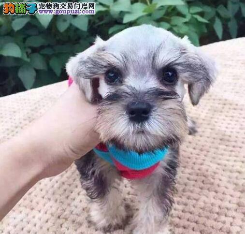 专业狗场出售老头版雪纳瑞徐州市区购买送狗粮
