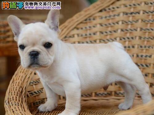 三亚出售颜色齐全身体健康法国斗牛犬购犬可签协议