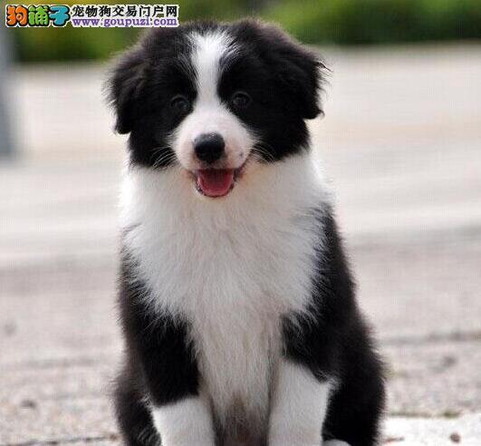 学霸级赛级纯正边境牧羊幼犬天津火爆出售 可看父母