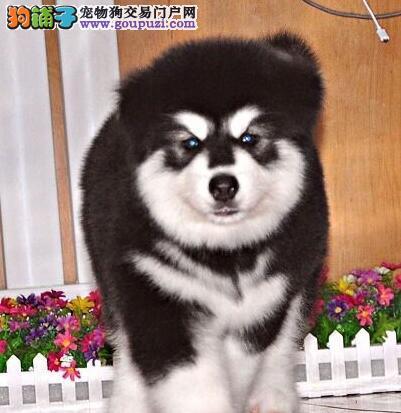天津纯种极品阿拉斯加幼犬