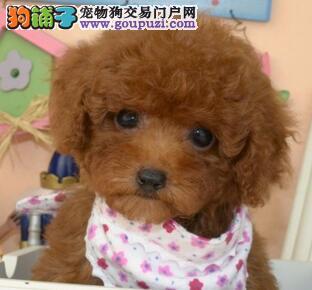 上海出售贵宾犬公母都有品质一流欢迎您的指导