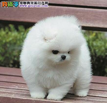 安康实体店低价促销赛级博美犬幼犬保障品质一流专业售后