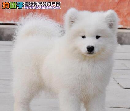 品质高血统好的墨西哥杭州吉娃娃犬找新家 免费送货