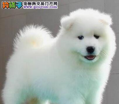 微笑小天使杭州萨摩耶找爸爸妈妈 毛色好品相好