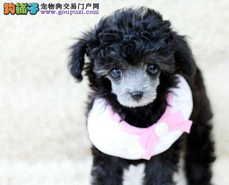 广州大型狗场出售多种血统多种血系的贵宾犬 欲购从速
