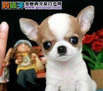 吉娃娃犬  可先检查确保健康   合同三包可送货