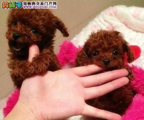 长春顶尖犬舍出售韩系泰迪犬 多窝可供大家挑选