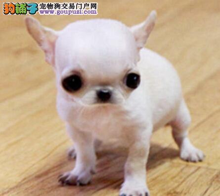 贵阳实体狗场出售袖珍小体的吉娃娃幼犬 速来选购