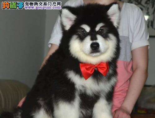 高品质赛级血系的阿拉斯加犬找新家 西安市内免费送货