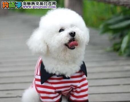 聪明伶俐品种优良的贵阳比熊犬找新家 狗贩子请勿扰