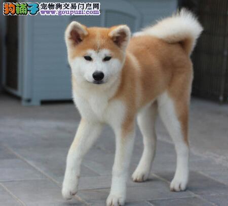 出售秋田犬专业缔造完美品质爱狗人士优先