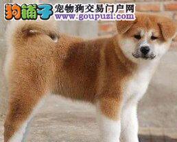 狗舍促销日系血统呼和浩特秋田犬毛色亮丽签合同