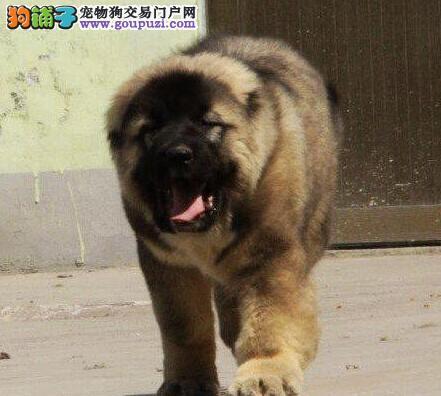 天津出售高加索幼犬品质好有保障喜欢微信咨询