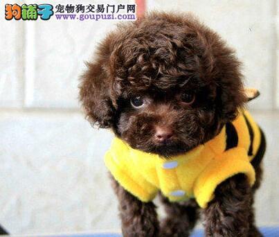 特价直销泰迪犬 有正规苏州营业执照 签协议