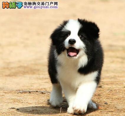 今日特价出售南京边境牧羊幼犬 购买送狗狗全套用品