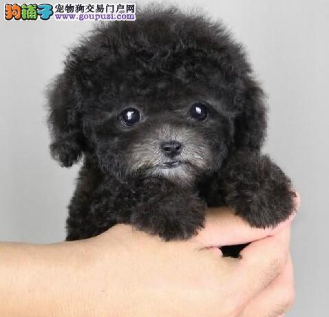 出售活泼可爱的海淀泰迪犬 建议大家上门选购看种犬