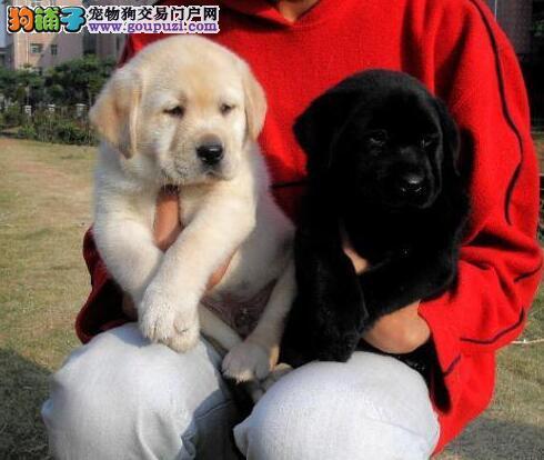 出售血统纯正的洛阳拉布拉多犬 可以十倍赔偿签协议