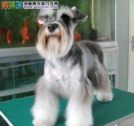 顶级优秀犬舍直销雪纳瑞 纯种椒盐色广州地区最低价