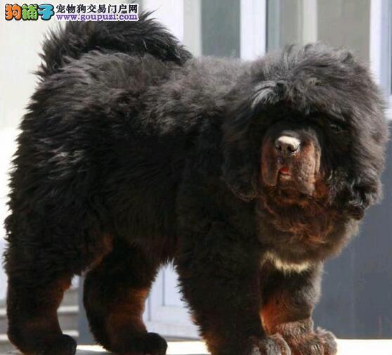 大型犬舍出售原生态广州藏獒 实物绝对比照片还漂亮