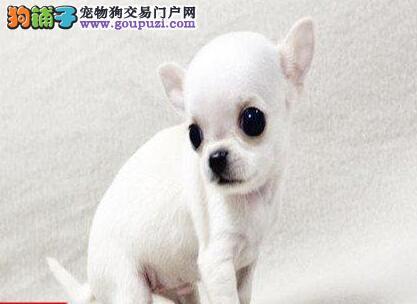 精品苹果头吉娃娃上海犬舍直销 支持空运发货免邮费