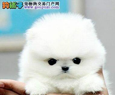 热销多只优秀的纯种自贡博美犬欢迎爱狗人士上门选购