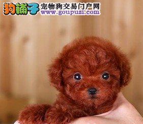 直销顶级品质韩系贵宾犬 来广州犬舍购买可享受优惠