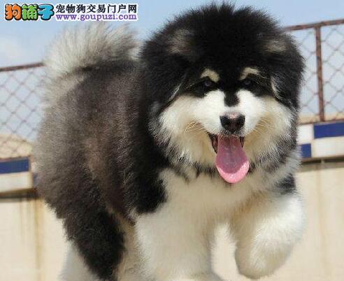 太原名犬基地出售阿拉斯加犬 三年联保签协议质保