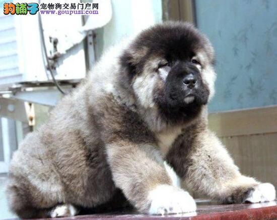 出售纯种健康的高加索幼犬真实照片视频挑选