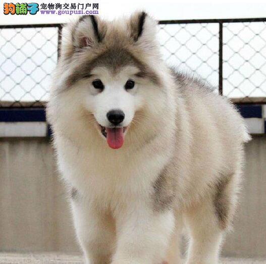 西安出售阿拉斯狗