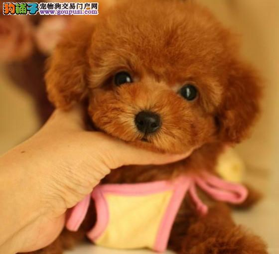 大眼睛苹果脸的太原泰迪犬找新家 终身售后可送货