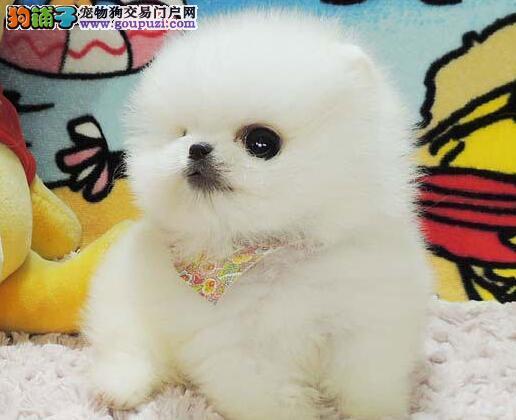 博美犬宝宝毛量足 活泼可爱 签协议送狗用品