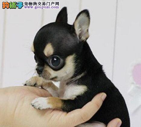 选择我们就是选择正确,纯种吉娃娃幼犬专卖健康保证。