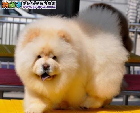 精品松狮幼犬一对一视频服务买着放心赛级品质保障