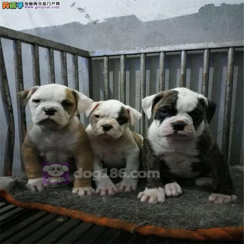 武汉养殖场直销完美品相的美国斗牛犬提供护养指导