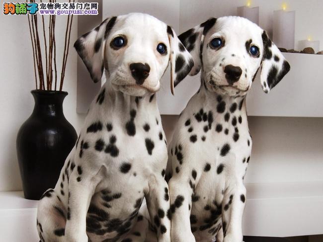 郑州养殖场直销完美品相的斑点狗微信咨询看狗狗照片